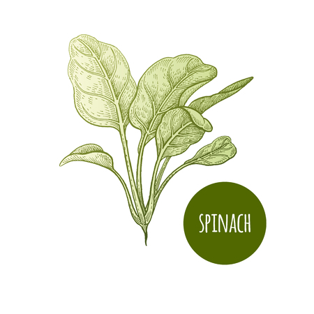 Spinazie Sla. Plant geïsoleerd op een witte achtergrond. Vector illustratie. Hand tekening stijl vintage gravure. Greenery voor het creëren van het menu, recepten, decoratie van keukenartikelen. Wijnoogst. Stock Illustratie