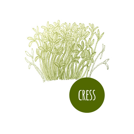 Lettuce cress. Plant isolated on white background. Vector illustration. Hand drawing style vintage engraving. Greenery for create the menu, recipes, decorating kitchen items. Vintage.