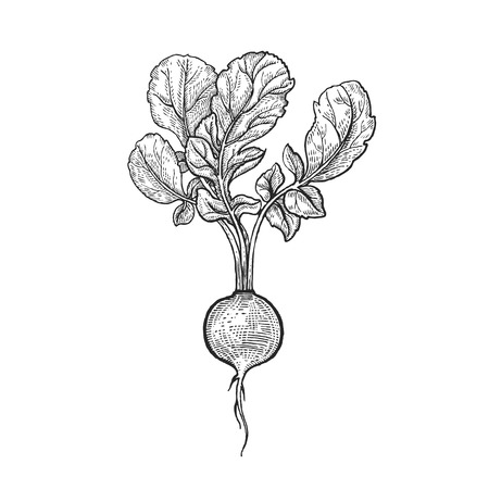 Vegetables. Radish. Vector illustration. Hand drawing style vintage engraving. Black and white.