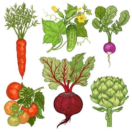 Groenten in te stellen. Komkommer, tomaat, radijs, wortelen, bieten, artisjok. Vector illustratie. Hand tekening kleur op een witte achtergrond. Stock Illustratie
