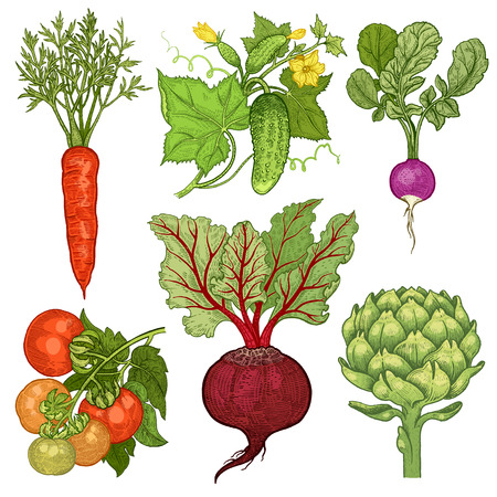 Vegetables set. Cucumber, tomato, radish, carrots, beets, artichoke. Vector illustration. Hand drawing color isolated on white background.