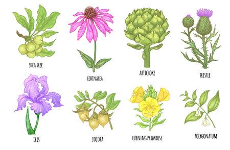 Set of medical herbs. Shea tree, echinacea, artichoke, thistle, iris flower, jojoba, evening primrose, polygonatum. Illustration of colorful graphics isolated on white background. Ilustrace
