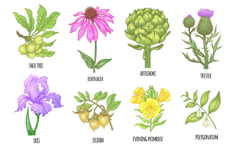 Set of medical herbs. Shea tree, echinacea, artichoke, thistle, iris flower, jojoba, evening primrose, polygonatum. Illustration of colorful graphics isolated on white background. Illustration