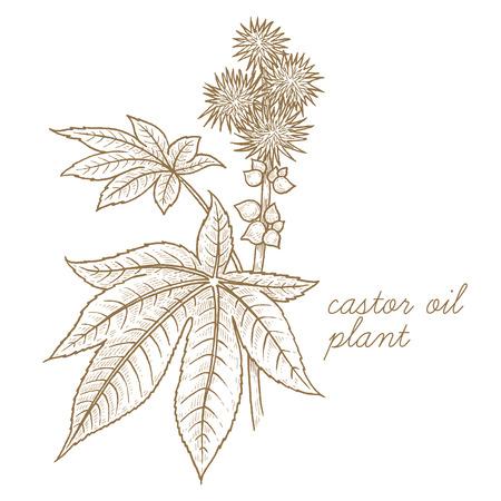 キャスター オイル植物。ベクトル画像は、白い背景で隔離。薬用植物、ハーブ、花、フルーツのグラフィック イメージの概念のルーツします。健康  イラスト・ベクター素材