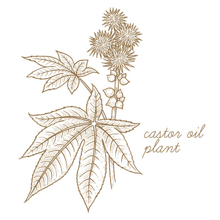 Castor oil plant. Vector image isolated on white background. The concept of graphic image of medical plants, herbs, flowers, fruits, roots. Designed to create package of health, beauty natural product