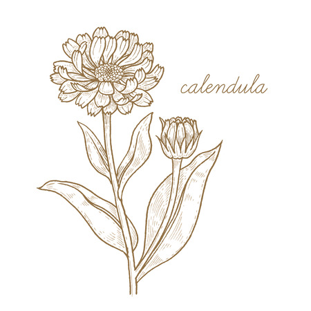 calendula: Calendula. Vector plant isolated on white background. The concept of graphic image of medical plants, herbs, flowers, fruits, roots. Designed to create package of health and beauty natural products.