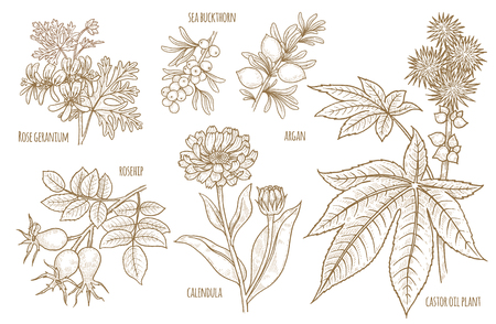 Calendula, Rosehip, Argan, Rose geranium, Castor oil plant, Sea buckthorn. Set of medical herbs. Designed to create package of health and beauty natural products. Illustration