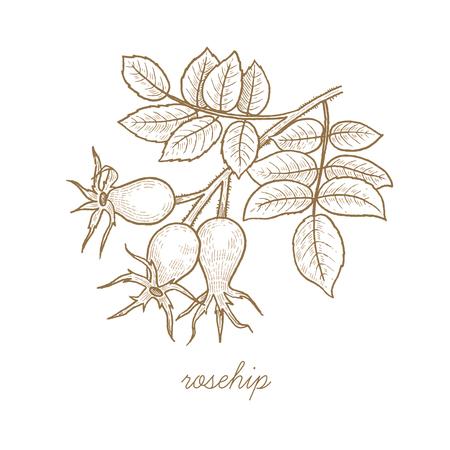 Rosa mosqueta. vector de la planta aislado en el fondo blanco. El concepto de imagen gráfica de médicos plantas, hierbas, flores, frutos, raíces. Diseñado para crear el paquete de productos naturales de salud y belleza.