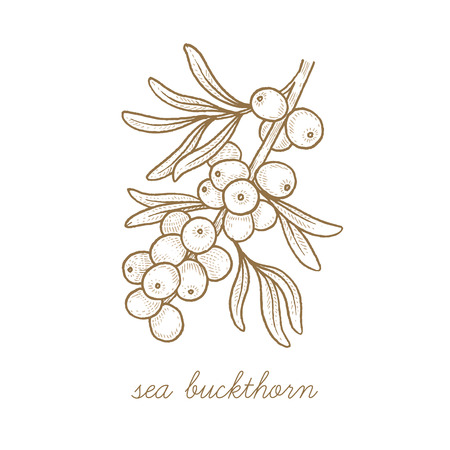 Sea buckthorn. Vector plant isolated on white background. The concept of graphic image of medical plants, herbs, flowers, fruits, roots. Designed to create package of health, beauty natural products. Ilustrace