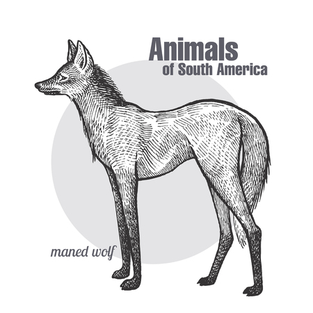 Maned Wolf hand drawing. Animals of South America series. Vintage engraving style. Illustration