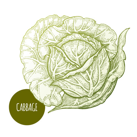 Cabbage. Hand drawing vegetables. Vector illustration art. Green and white. Vintage engraving. Kitchen design.