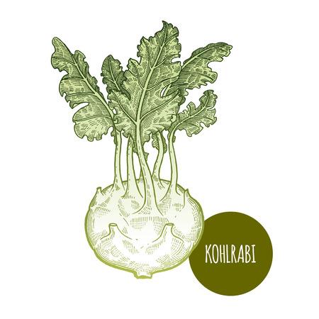 Cabbage kohlrabi. Hand drawing vegetables. Vector illustration art. Green and white. Vintage engraving. Kitchen design. Illustration