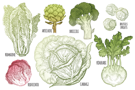 Color vegetables set. Isolated cabbage, kohlrabi, brussels sprouts, broccoli, Chinese cabbage, artichoke. Illusztráció