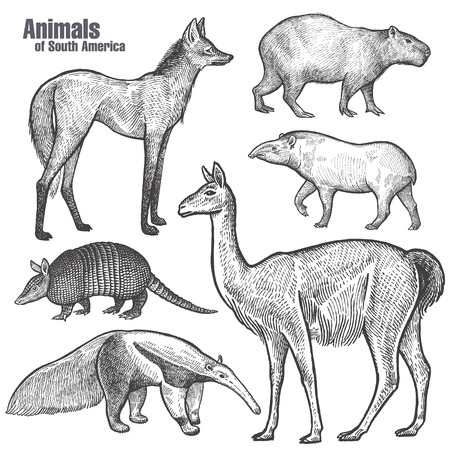 Animals of South America hand drawing. Maned Wolf, Tapir, Capybara, Armadillo, Anteater, Guanaco. Vintage engraving. Vector illustration art. Black and white. Object of nature naturalistic sketch. Ilustração