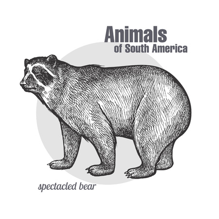 spectacled: Spectacles bear hand drawn animal of South America series.