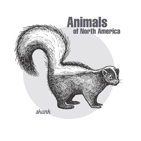 스컹크. 야생 동물의 손을 그리기. 북미 시리즈의 동물. 빈티지 조각 스타일. 벡터 그림 예술입니다. 검정색과 흰색. 자연의 고립 된 개체 자연주의 스