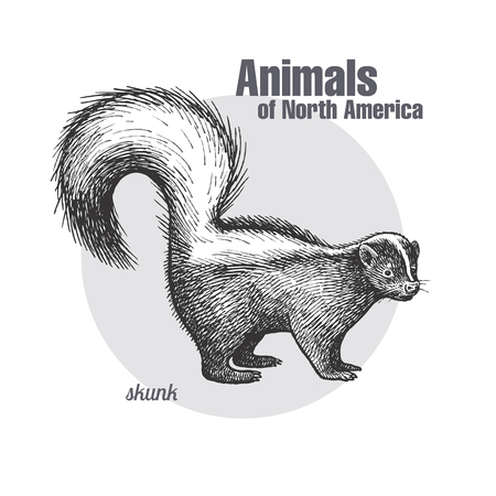 Skunk. Hand drawing of wildlife. Animals of North America series. Vintage engraving style. Vector illustration art. Black and white. Isolated object of nature naturalistic sketch.