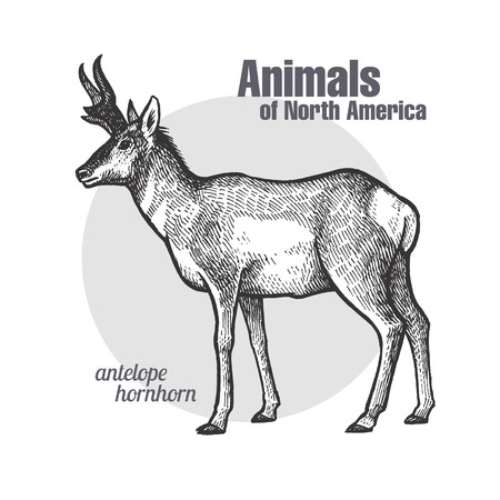 Pronghorn antelope. Hand drawing of wildlife. Animals of North America series. Vintage engraving style. Vector illustration art. Black and white. Isolated object of nature naturalistic sketch. Illustration