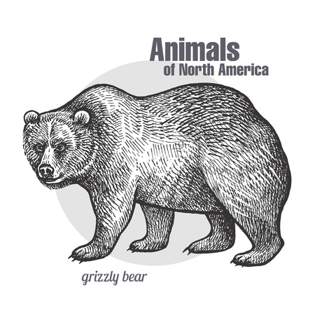 Grizzly bear. Hand drawing of wildlife. Animals of North America series. Vintage engraving style. Vector illustration art. Black and white. Isolated object of nature naturalistic sketch. Иллюстрация