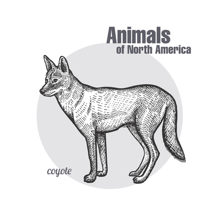 Coyote hand drawing. Animals of North America series. Vintage engraving style. Vector illustration art. Black and white. Object of nature naturalistic sketch.