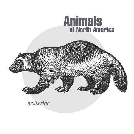 Wolverine hand drawing. Animals of North America series. Vintage engraving style. Vector illustration art. Black and white. Object of nature naturalistic sketch.