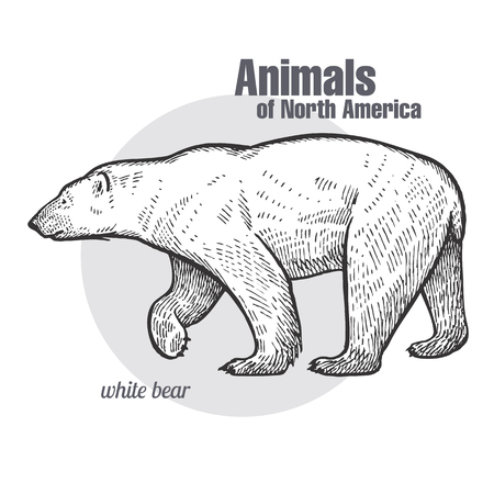 Polar bear hand drawing. Animals of North America series. Vintage engraving style. Vector illustration art. Black and white. Object of nature naturalistic sketch.