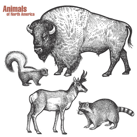 Animals of North America hand drawing set. Bison, Skunk, Pronghorn antelope, Raccoon. Vintage engraving style. Vector illustration art. Black and white. Isolated object of nature naturalistic sketch.