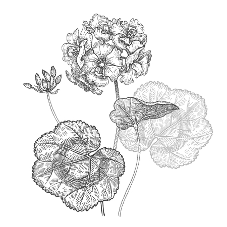 Geranium or Pelargonium garden flower. Isolated bouquet on white background. Black and white hand drawing. Vector illustration art. Vintage engraving. Decoration for interior items, dishes, pillows. Ilustração
