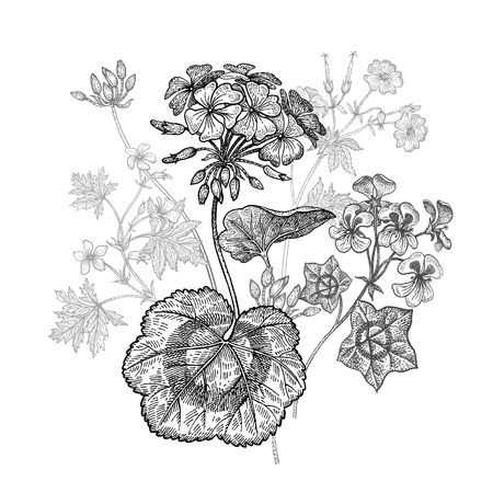 Geranium or Pelargonium garden flower. Isolated bouquet on white background. Black and white hand drawing. Vector illustration art. Vintage engraving. Decoration for interior items, dishes, pillows. Illustration