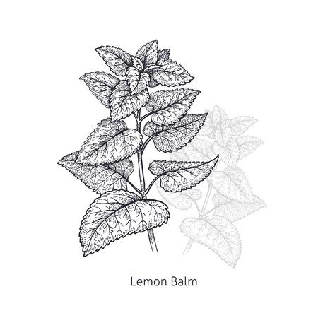 레몬 밤. 의료 허브와 식물 격리 흰색 배경에 시리즈. 벡터 일러스트 레이 션. 예술 스케치. 손을 자연의 드로잉 개체입니다. 빈티지 조각 스타일. 검정 일러스트
