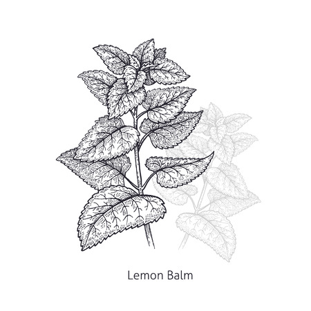 Lemon Balm. Medical herbs and plants Isolated on white background series. Vector illustration. Art sketch. Hand drawing object of nature. Vintage engraving style. Black and white.