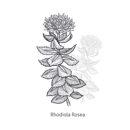 Rhodiola Rosea flower. Medical herbs and plants Isolated on white background series. Vector illustration. Art sketch. Hand drawing object of nature. Vintage engraving style. Black and white.