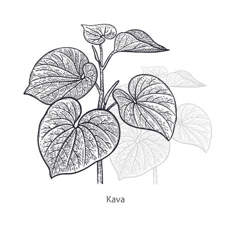 Kava. Medical herbs and plants Isolated on white background series. Vector illustration. Art sketch. Hand drawing object of nature. Vintage engraving style. Black and white.