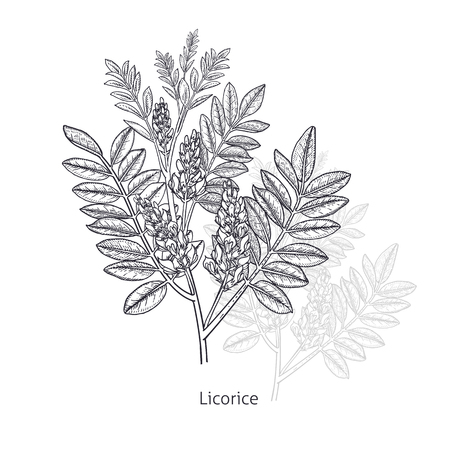 Licorice flower. Medical herbs and plants Isolated on white background series. Vector illustration. Art sketch. Hand drawing object of nature. Vintage engraving style. Black and white. Ilustracja