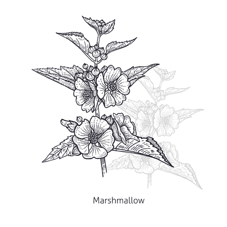 Marshmallow flower. Medical herbs and plants Isolated on white background series. Vector illustration. Art sketch. Hand drawing object of nature. Vintage engraving style. Black and white. Иллюстрация