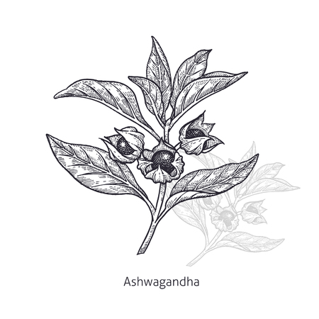 Ashwagandha. Medical herbs and plants Isolated on white background series. Vector illustration. Art sketch. Hand drawing object of nature. Vintage engraving style. Black and white. Çizim