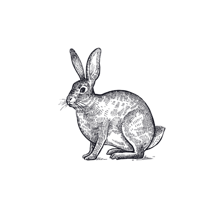 Forest animal hare or rabbit. Hand drawing sketch black ink isolated on white background. Vector art illustration. Vintage engraving style. Nature objects of Wildlife mammals.  イラスト・ベクター素材