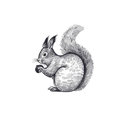 Bos dier eekhoorn. Hand tekening schets zwarte inkt op witte achtergrond. Vector kunst illustratie. Vintage gravure stijl. Natuurobjecten van Wildlife zoogdieren.