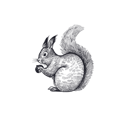 Forest animal squirrel. Hand drawing sketch black ink on white background. Vector art illustration. Vintage engraving style. Nature objects of Wildlife mammals.