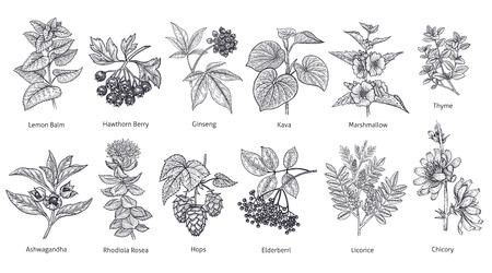 Medical herbs and plants big set. Lemon Balm, Hawthorn Berry, Rhodiola Rosea, Kava, Licorice, Marshmallow flower, Chicory, Ashwagandha, Hops, Thyme. Vector illustration art. Black and white. Vintage.