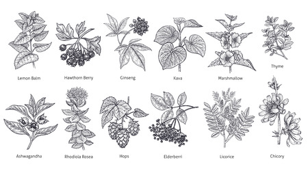 Medical herbs and plants big set. Lemon Balm, Hawthorn Berry, Rhodiola Rosea, Kava, Licorice, Marshmallow flower, Chicory, Ashwagandha, Hops, Thyme. Vector illustration art. Black and white. Vintage.