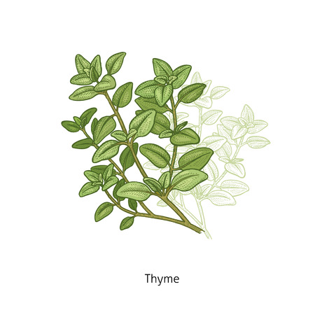 Tijm. Medische kruiden en planten geïsoleerd groen op witte achtergrond-serie. Vector illustratie. Kunst schets. Handtekening object van de natuur. Vintage gravure stijl. Stock Illustratie