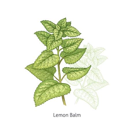 레몬 밤. 의료 허브와 식물 흰색 배경에 고립 된 녹색 시리즈입니다. 벡터 일러스트 레이 션. 예술 스케치. 손을 자연의 드로잉 개체입니다. 빈티지 조