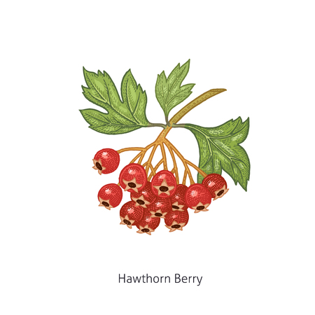 Hawthorn Berry. Medical herbs and plants Isolated on white background series. Vector illustration. Art sketch. Hand drawing object of nature. Vintage engraving style. Green and red.