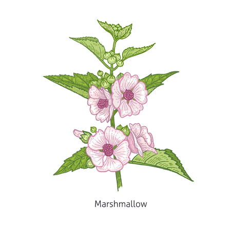 Marshmallow flower. Medical herbs and plants Isolated on white background series. Vector illustration. Art sketch. Hand drawing object of nature. Vintage engraving style. Green and pink.