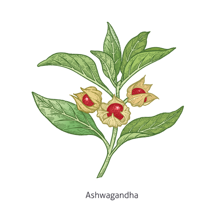 Ashwagandha. Medical herbs and plants Isolated on white background series. Vector illustration. Art sketch. Hand drawing object of nature. Vintage engraving style. Green and red.