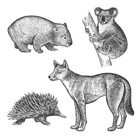 Oso de Koala, Wombat, Echidna, perro de Dingo Conjunto de dibujo a mano. Animales de la serie de Australia. Estilo de grabado de la vendimia. Vector ilustración de arte. En blanco y negro. El objeto de un bosquejo naturalista. Vectores