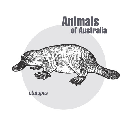 Platypus or duckbill hand drawing. Animals of Australia series. Vintage engraving style. Vector art illustration. Black graphic isolate on white background. The object of a naturalistic sketch.  イラスト・ベクター素材