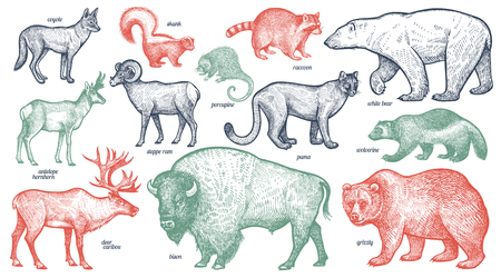 Animals with names set. Polar bear, coyote, puma, skunk, wolverine, antelope, raccoon, porcupine, reindeer, ram, bison, grizzly. Vector illustration. Red, green, black isolated on white background.