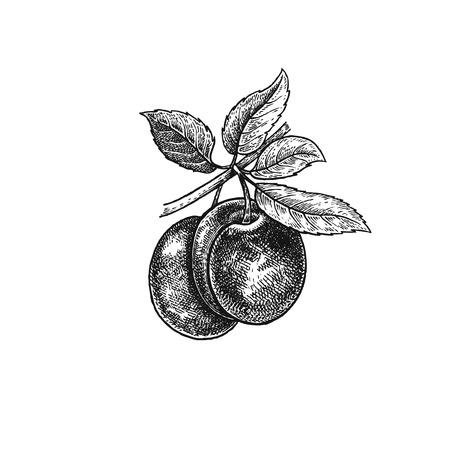 Pruim. Realistische vector illustratie plant. Handtekening. Fruit, blad, tak geïsoleerd op een witte achtergrond. Ontwerp voor pakket van gezondheids- en schoonheidsproducten. Vintage zwart-witte graveren